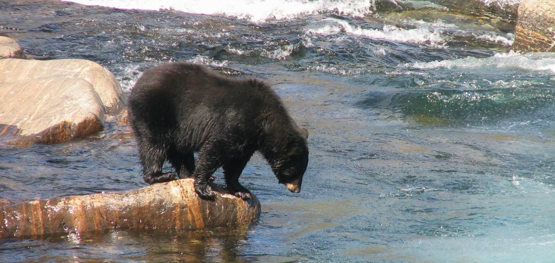Bear Watching Tours in Quebec-Labrador